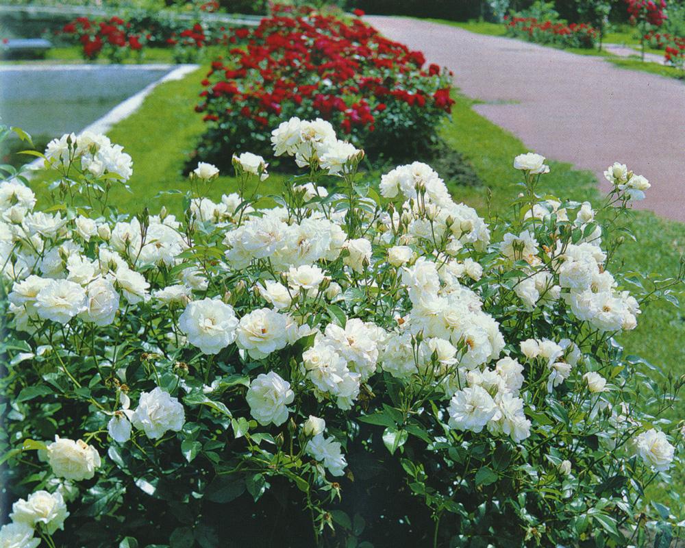 Роза парковая как садить