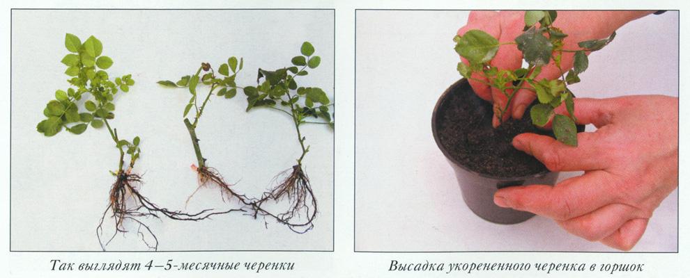 Как размножить розу из черенка в домашних условиях