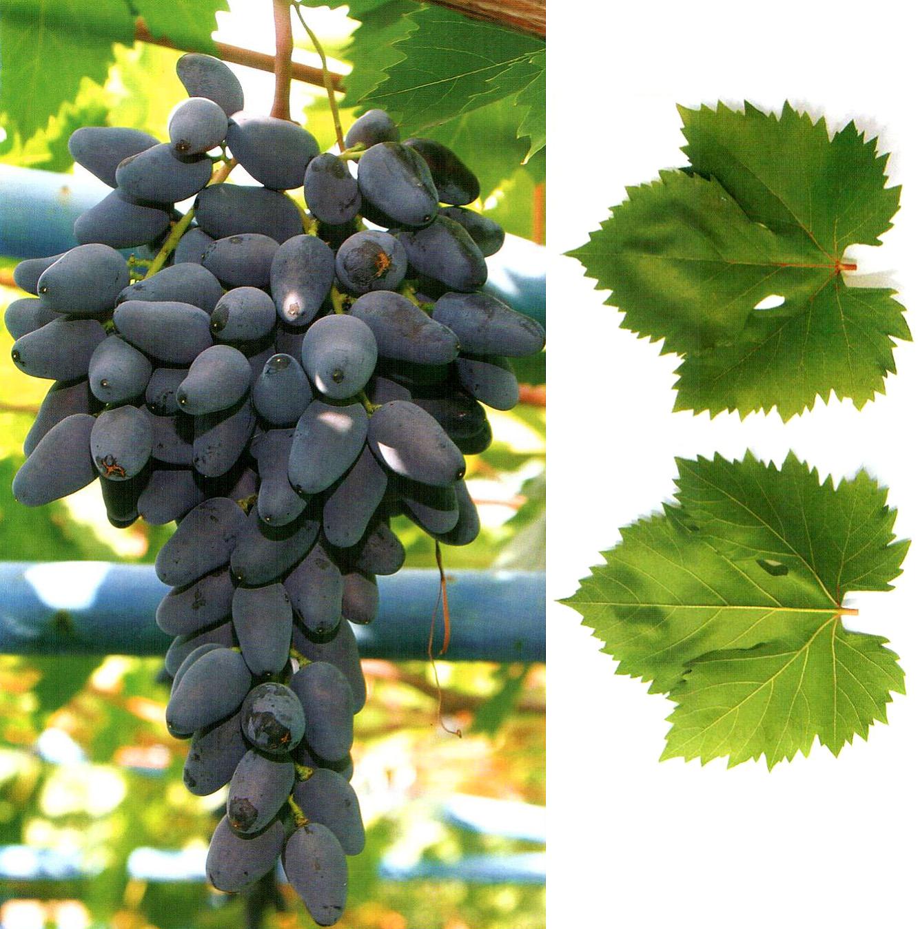 Виноград подарок негруля описание сорта фото