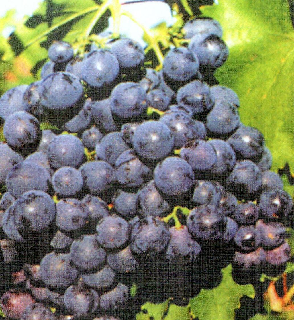 Сорт винограда Восторг черный, описание, фото, отзывы