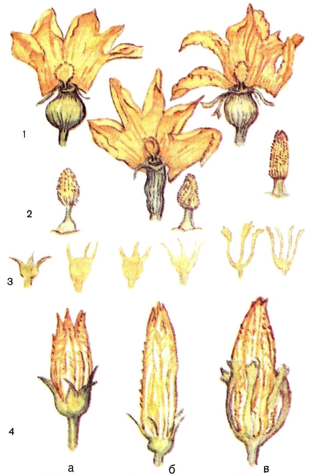 Тыква цветы мужские и женские фото