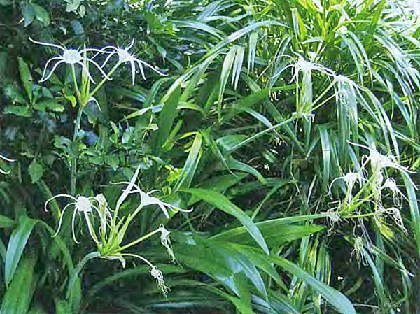 Гименокаллис фото виды выращивание и уход