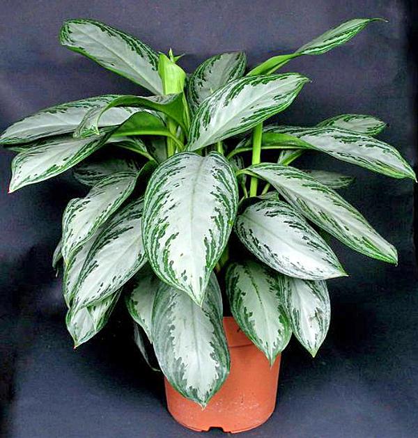 Зеленые комнатные растения фото