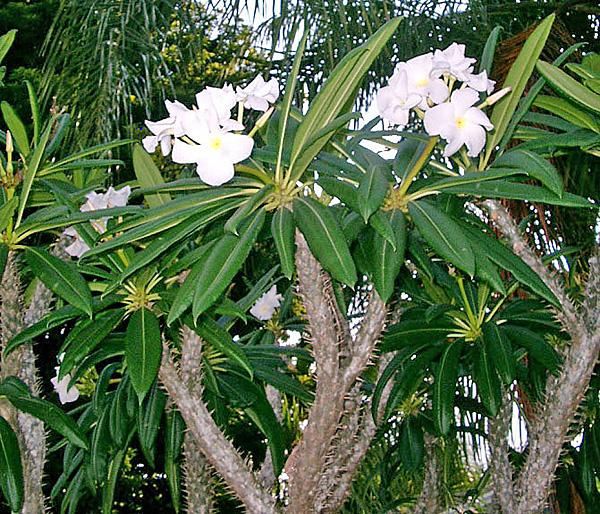 пахиподиум  цветение