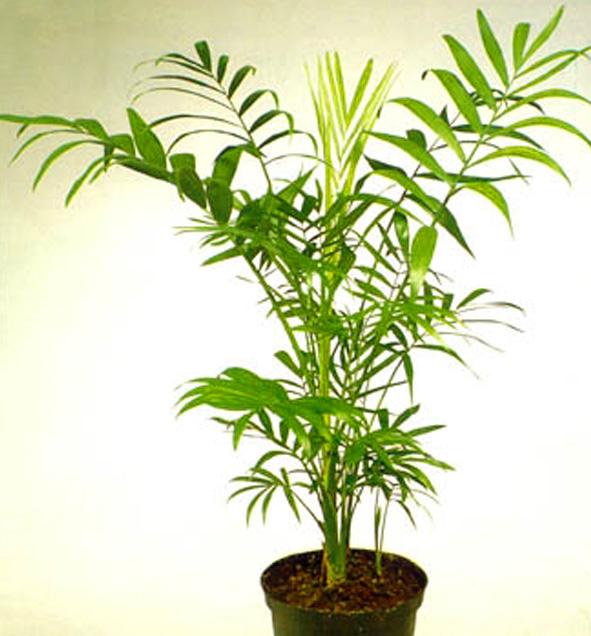 Цветы пальмовые фото названия и уход