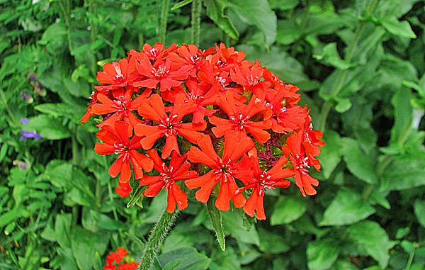 Цветы зорька красная