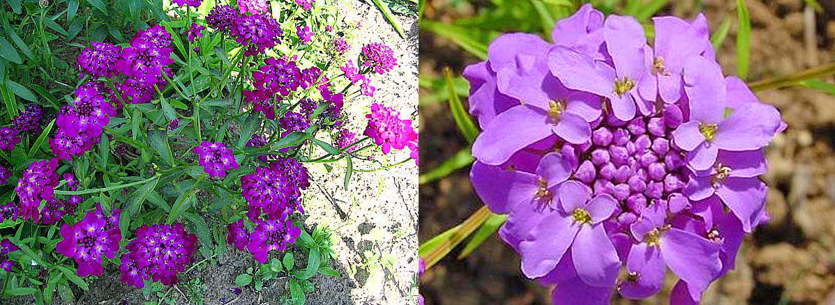 Сиреневый зонтичный цветок
