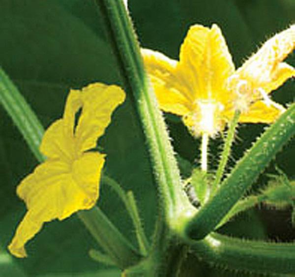 Мужские цветки на огурцах