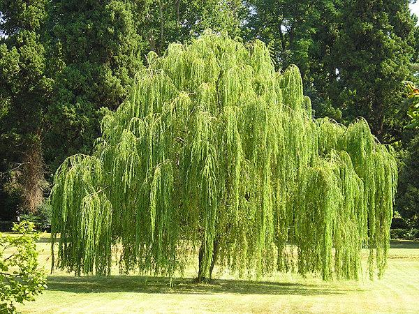 ива дерева фото