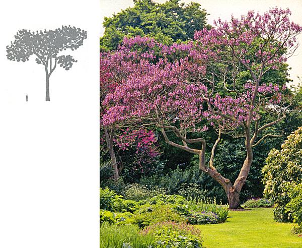 Павлония дерево выращивание 61