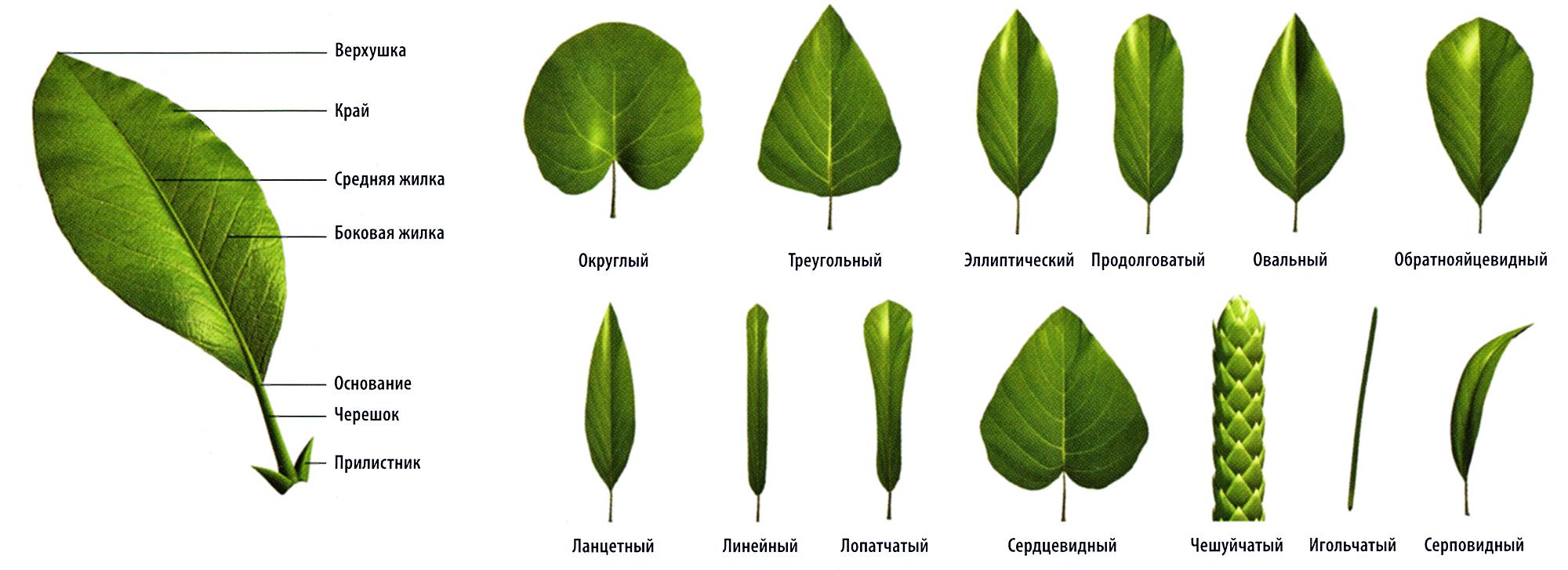 Форма листя дерев фото 21 фотография