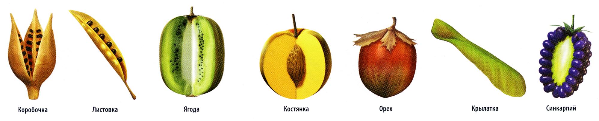 Все названия плодов растений