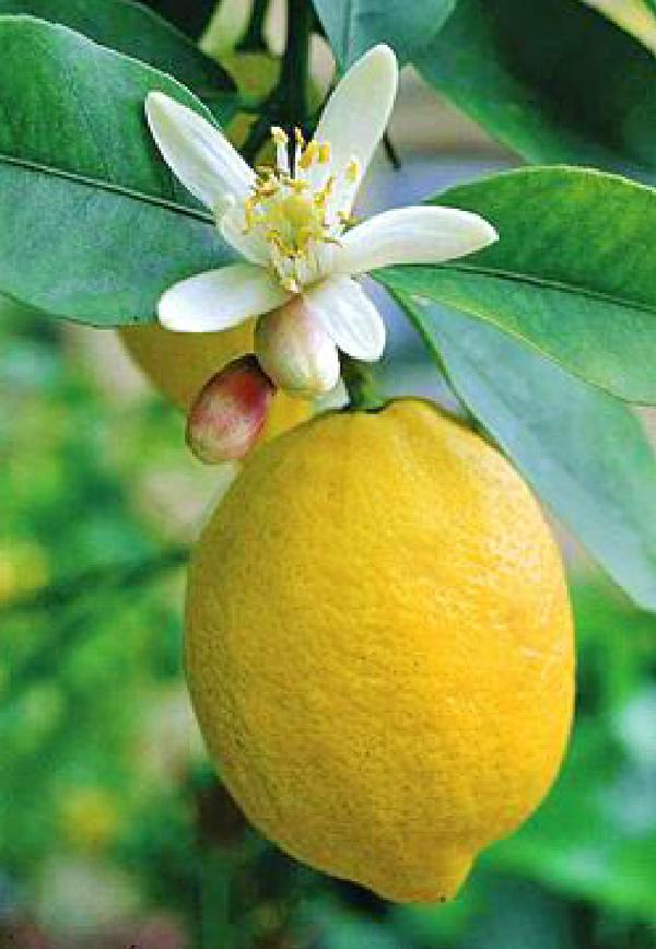 Цветки лимона