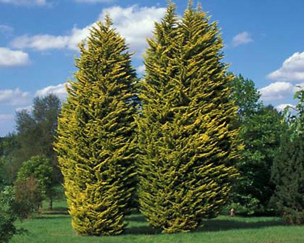Кипарис фото дерево продажа памятников в новочебоксарске