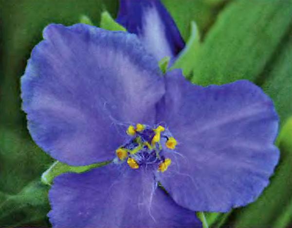 Традесканция Андерсена Purple Dome - Цветочный город