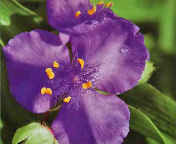 Традесканция - Многолетние цветы (саженцы) - Каталог