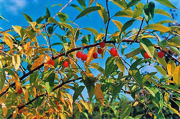 Принсепия китайская выращивание из семян 83