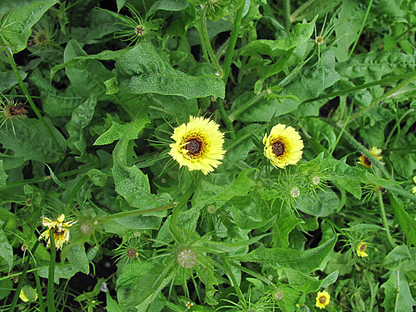 Толпис цветок