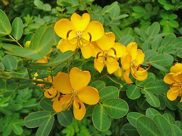 растение сенна фото