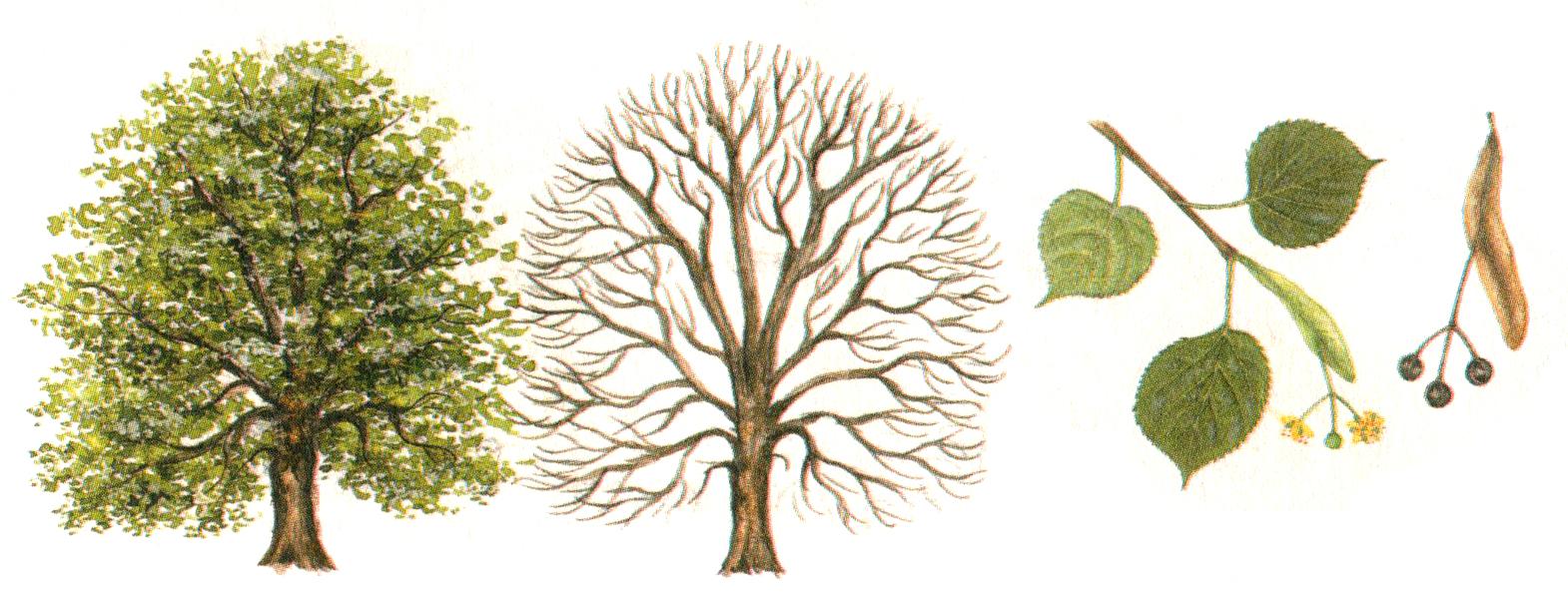 как выглядит дерево липа