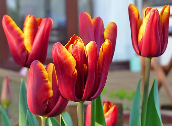 тюльпан абу-хасан фото