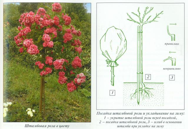 Как сажают штамбовые розы