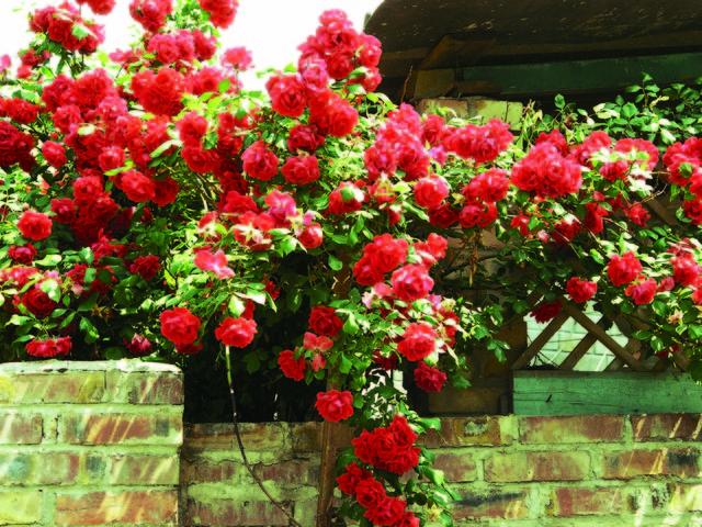 Крымская роза цветок